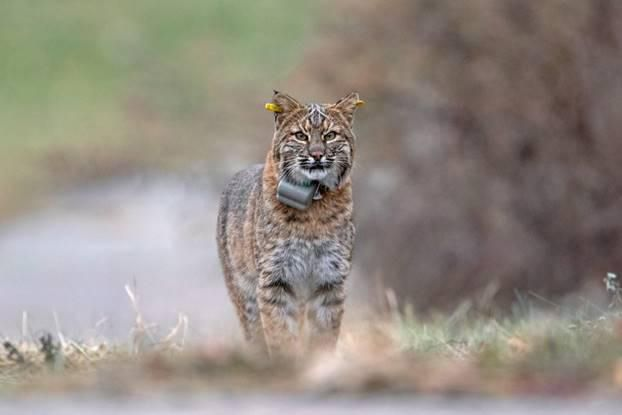 State wildlife staff placed collars on 50 bobcats in Connecticut between November 2018 and March 2019. The collars are fitted with a global positioning system that monitors their movements without hurting them. Contributed/DEEP
