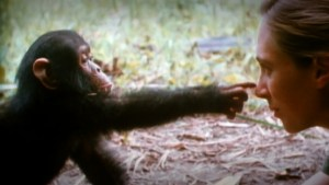 Archive footage shows Jane playing with a chimpanzee.
