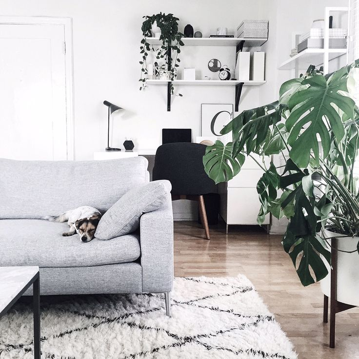 small sleeping dog, on pale grey modern couch, over fluffy white rug, with black pattern, pale laminate floor, several different potted plants, white desk with black chair
