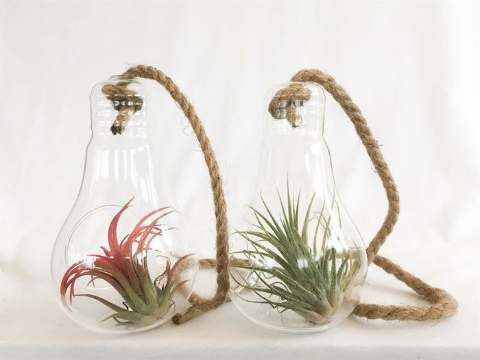 unique glass terrariums, shaped like two lightbulbs, tied with rope, containing two hanging air plants, green with pink details