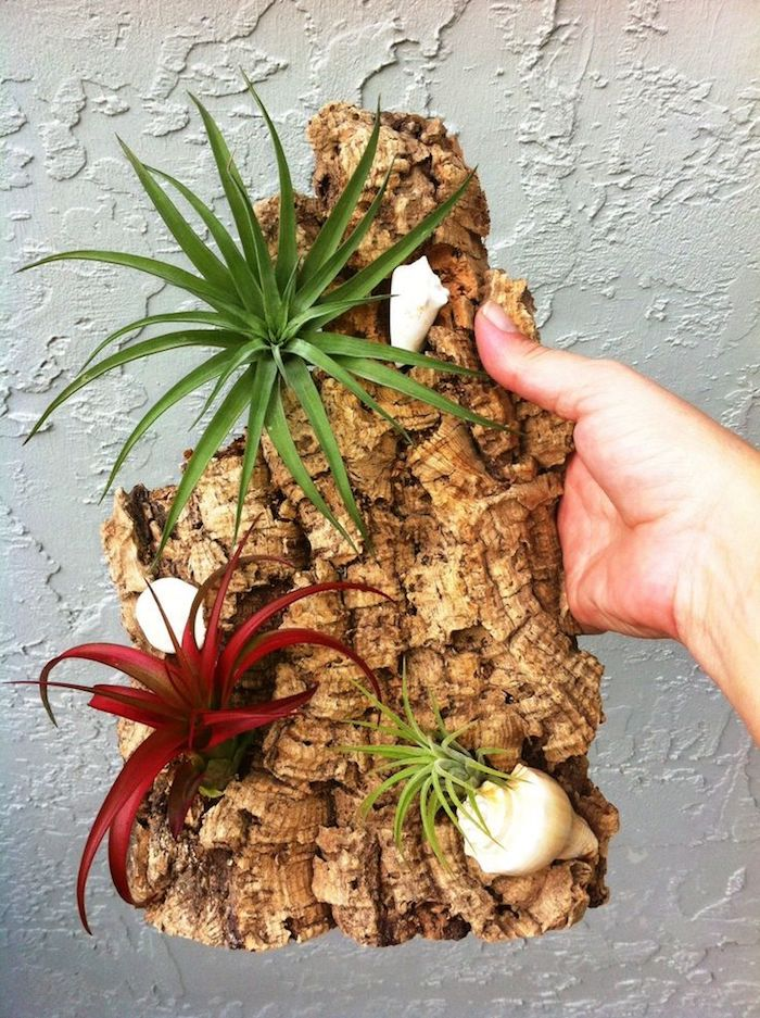 hand holding piece of reclaimed driftwood, with three white shells, and three airplants, in red and green