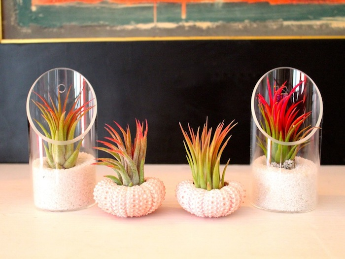 clear plastic planters, and two white shells used as planters, all containing green airplants, with reddish leaf tips