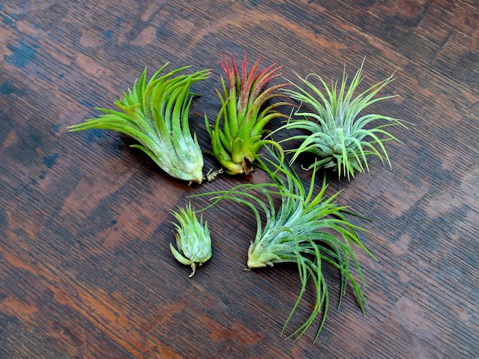 dark wooden surface, with five light green air plants, one has pinkish-red leaves, tillandsia care advice