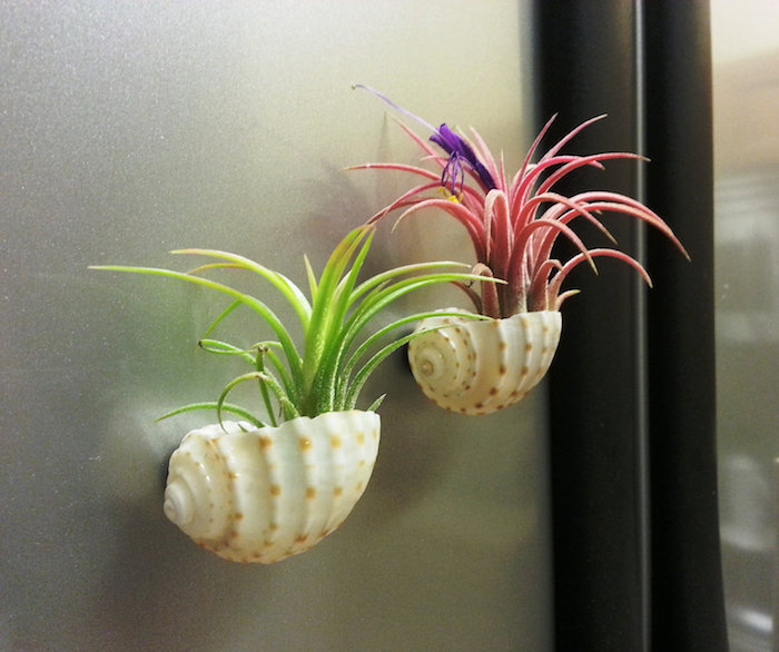seashells stuck to a metal surface, and containing air plants, one green and one pink, with small purple blossom