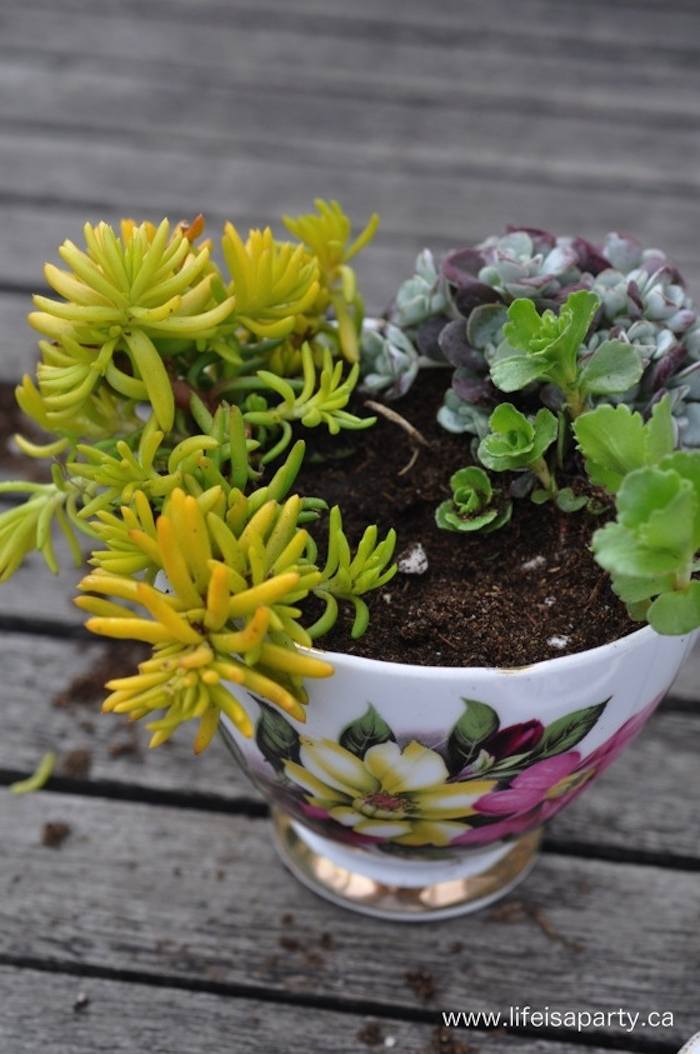 succulents of three different kinds, planted in dirt, succulent fairy garden, inside a delicate porcelain cup, with yellow and pink floral motive, and golden details