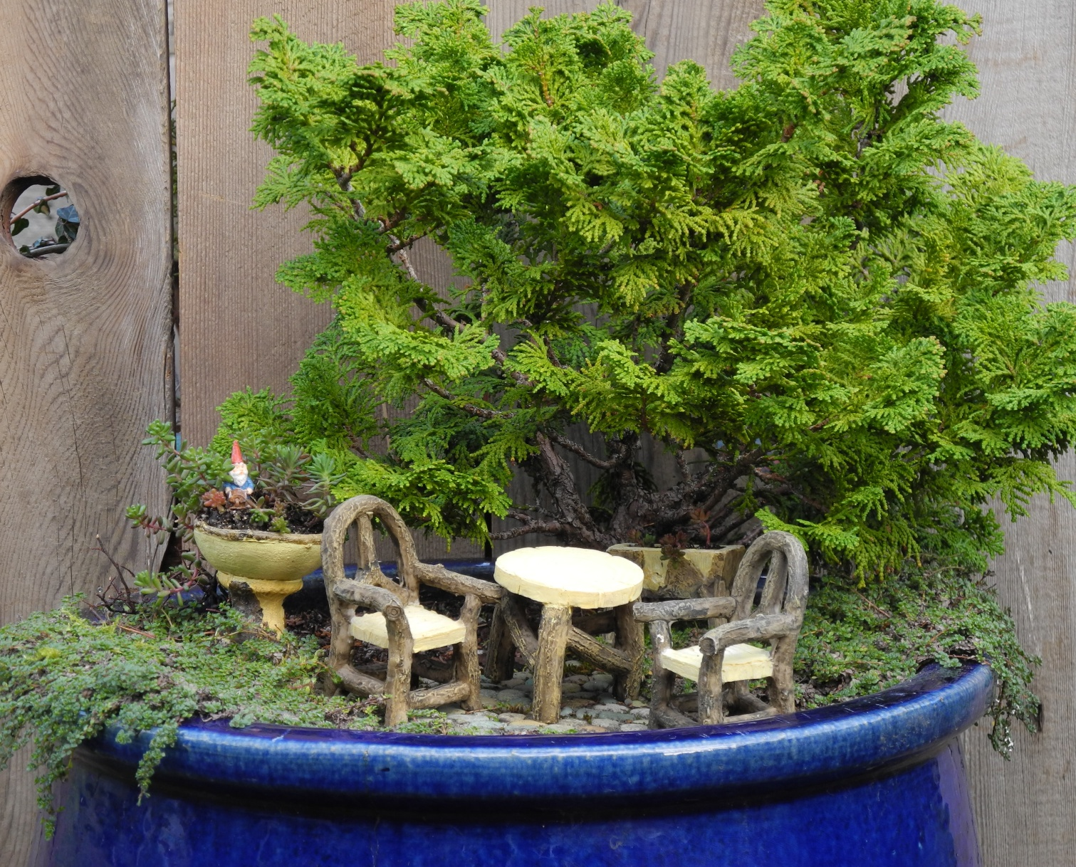 shrub inside a large, dark blue planting pot, containing small green plants, tiny table and two chairs, painted to look like wood, succulent fairy garden, little dish with succulents and a gnome figurine