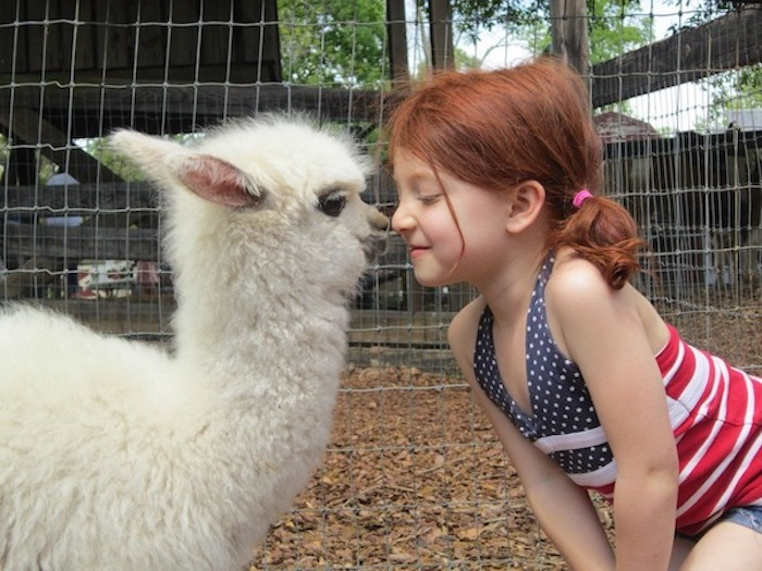 unusual pets, little red haired girl, wearing a top with the us flag, rubbing noses with a fluffy, white alpaca foal