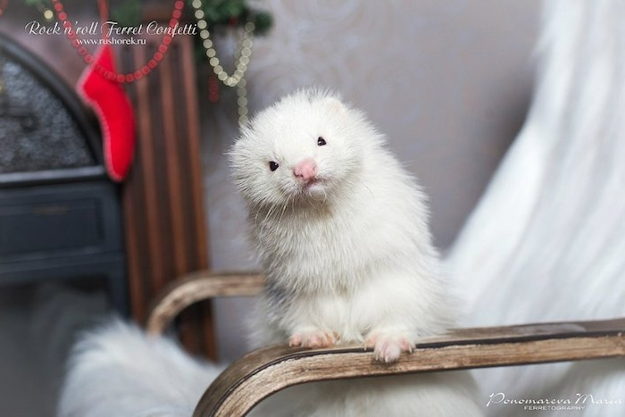 pure white and very fluffy angora ferret, exotic pets list, leaning on the armrest of a chair, covered with a white furry blanket