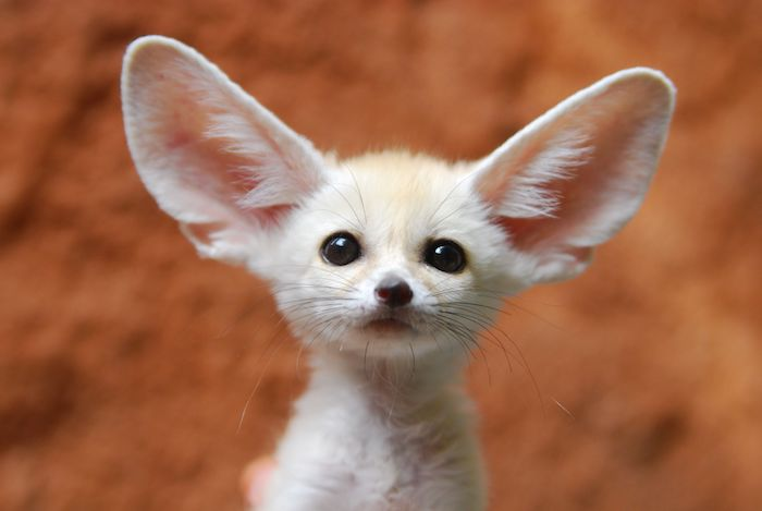 adorable fennec fox cub, with pale beige coat, small black eyes and nose, and huge ears, orange background