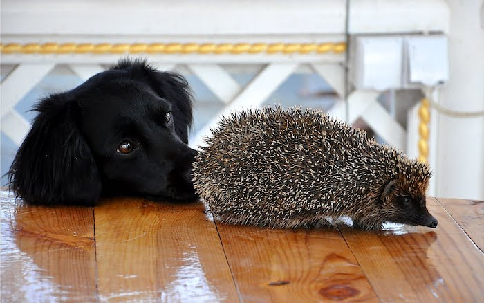 dog with jet black fur, sniffing an adult hedgehog, with black face and white and grey quills, pet ideas, shiny wooden table