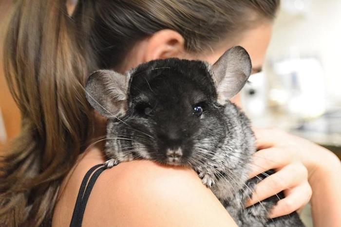 woman with brunette hair, tied in a ponytail, holding a black and gray chinchilla over her shoulder, low maintenance pets for apartments, cuddly furry pets