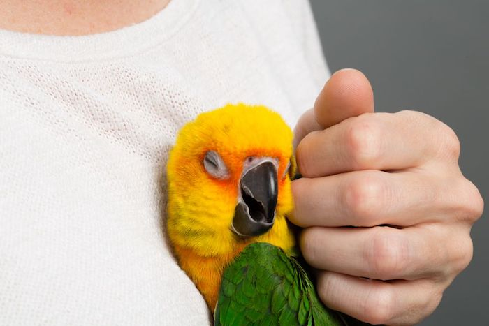 yellow and green parrot, enjoying being hugged and petted, by a person dressed in white, best exotic pets