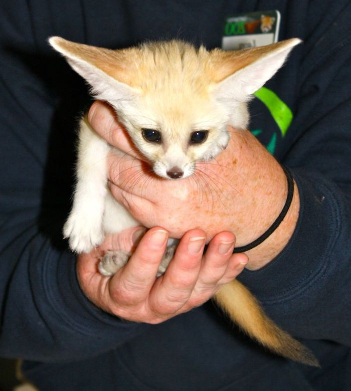 exotic animals, hands of an older person, holding a small fennec desert fox baby, with large ears and yellowish fur, big black eyes and small nose