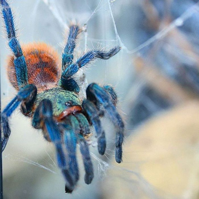multicolored iridescent tarantula, with turquoise and orange body, and electric blue legs, exotic animals, sitting in its web