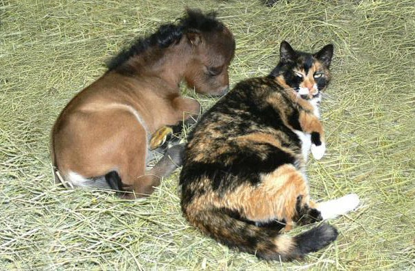 calico large cat, laying on straw bedding, next to a newborn miniature foal, with brown coat, pet ideas