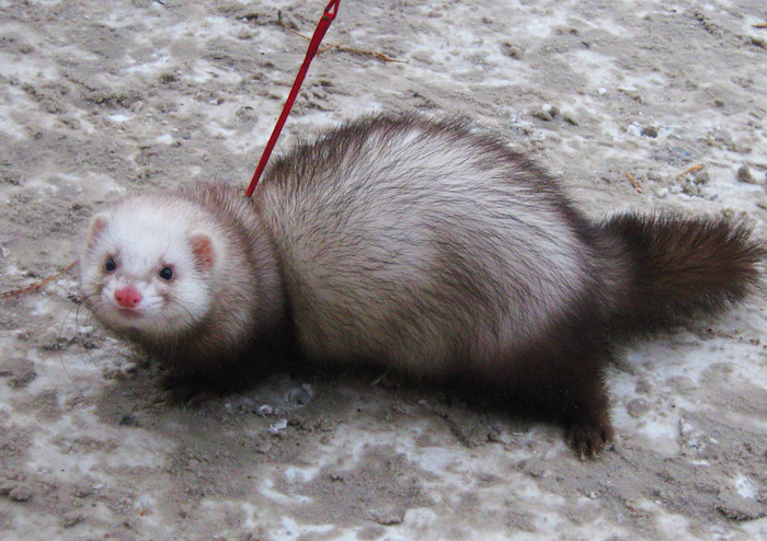 chubby and fluffy ferret, with dark brown and white fur, exotic pets list, being led on a red leash