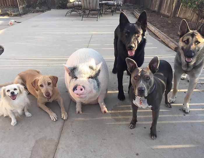 pack of five dogs, in different colors and sizes, standing and laying, near an adult miniature pig, with pink skin, white and black short fur