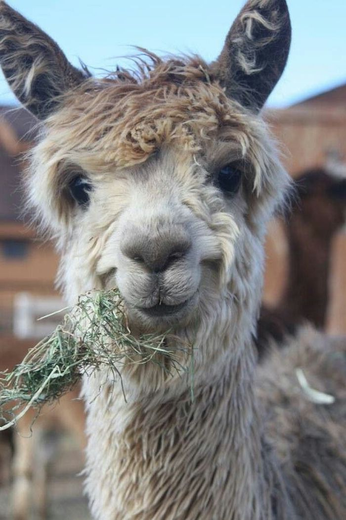 friendly looking smiling alpaca, with pale beige fur, unusual pets, munching on some dried grass, and seen in close up