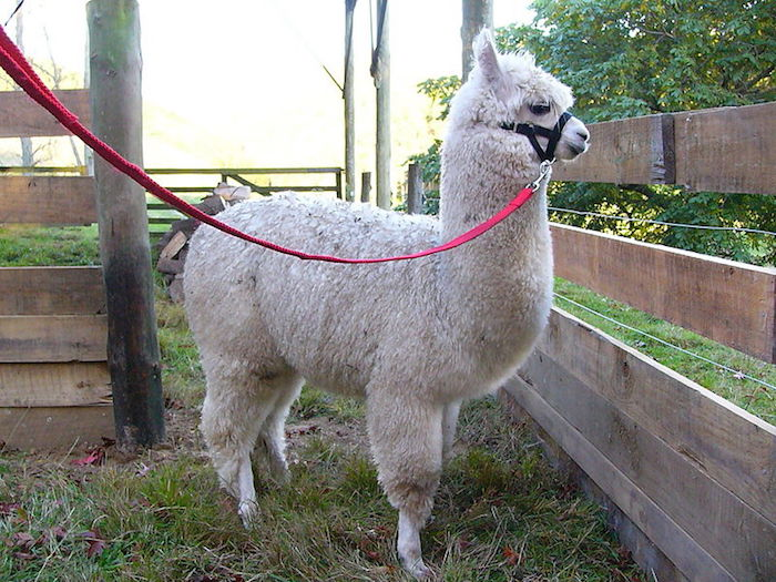 fenced in alpaca, with fluffy off-white fur, tied with a black and red leash, unusual pets, cute farm animals
