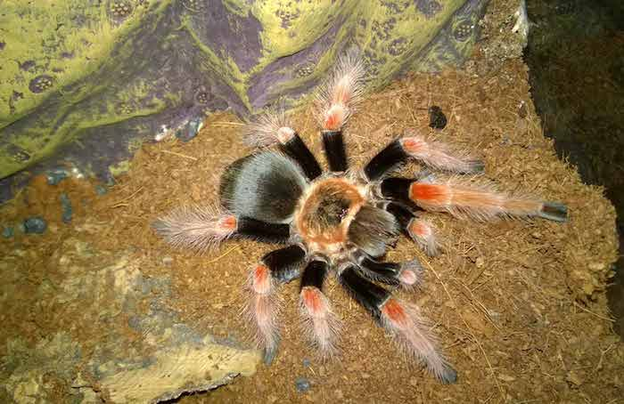 tarantula with black and orange body and legs, exotic animals, large adult spider, inside a terrarium, with dirt floor