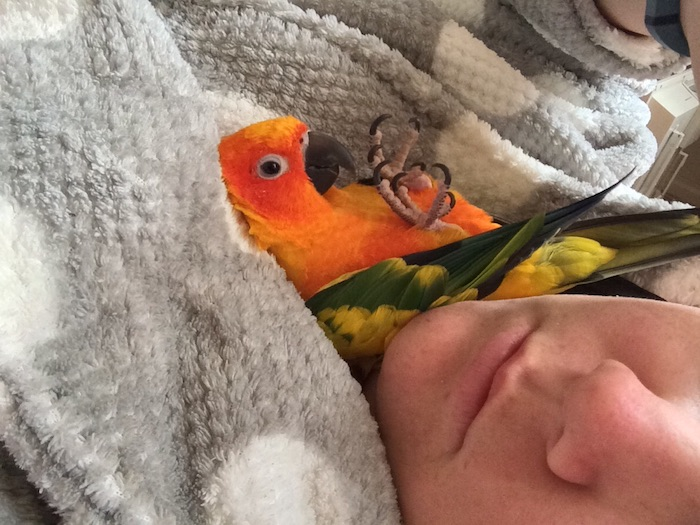 low maintenance pets for apartments, parrot with orange, green and yellow feathers, resting on a person's pale grey and white jumper, near their face