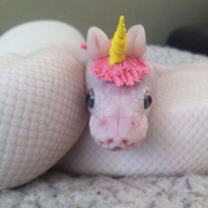 unicorn head decoration, made from moulding clay in pink and yellow, worn by a white and pink snake, coiled on a fluffy blanket, exotic pets list
