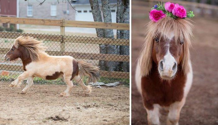 running miniature pinto horse, with cream and brown coat, and blonde mane, next photo shows the same animal, wearing a flower crown