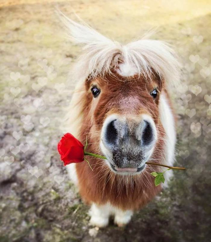 miniature pinto horse, with brown and white coat, holding a red rose in its mouth, and facing the camera