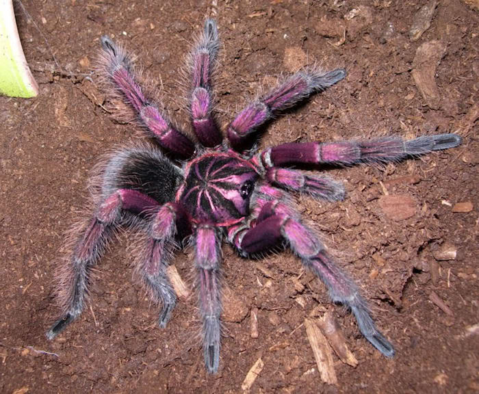 pinky purple and black tarantula, with striped body, exotic animals, resting on a surface, covered with loose soil