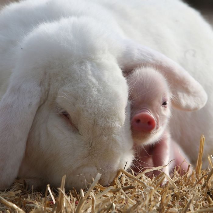 huge white rabbit, hiding a little pink piglet under its ear, both are laying on a bed of yellow straw