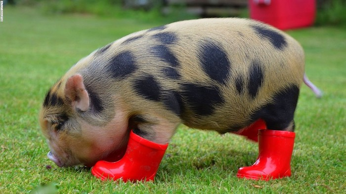 wellington boots in red, miniature rain booties, worn by a pot bellied piglet, with pale orange and black fur, standing on green grass