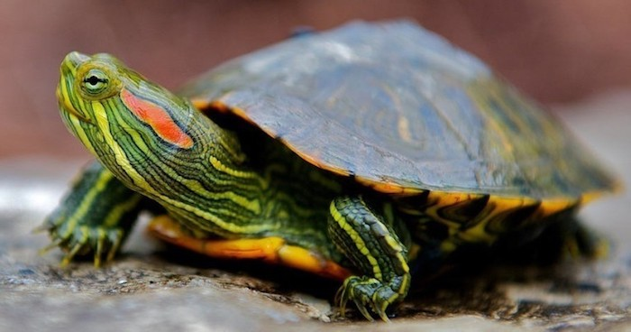 striped green and yellow, red-eared turtle, with dark green and yellow shell, low maintenance pets, seen in close up