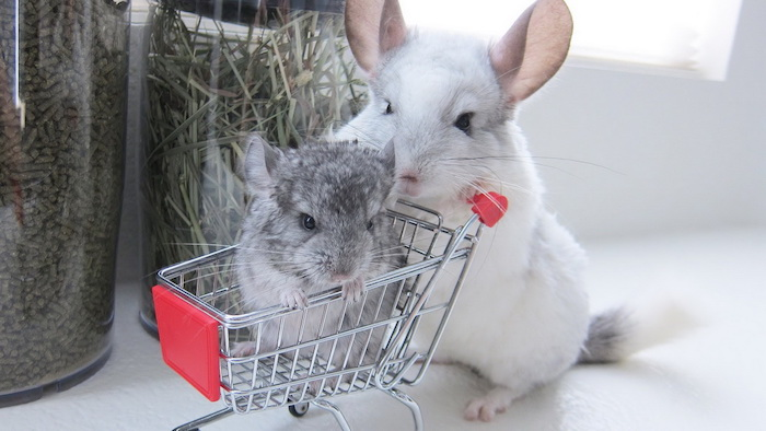 mother chinchilla with white fur, pushing gray chinchilla baby, inside a miniature shopping cart, low maintenance pets for apartments, two jars in the background