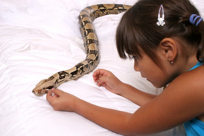 young girl trying to pet a large snake, exotic animals as pets, with beige and dark brown scales, lying on a white duvet