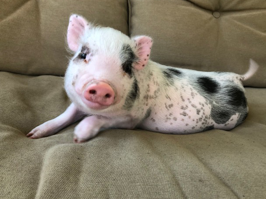 piglet with light pink and black spotted skin, and short white fur, resting on a khaki beige sofa