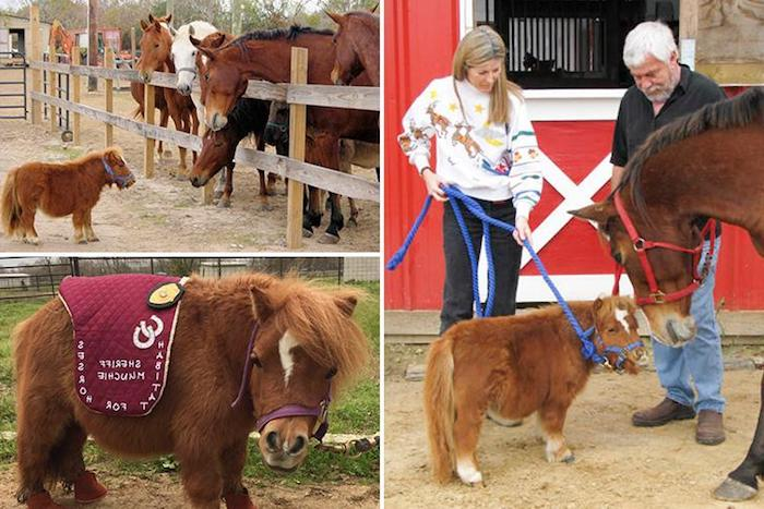 very small pony or miniature horse, standing near large horses, and being led on a blue rope, by a blonde woman