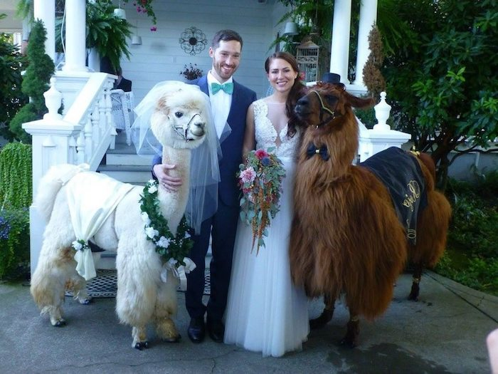 bride and groom, posing with a brown llama, and white fluffy alpaca, also dressed like a bride and groom, unusual pets, funny wedding photo