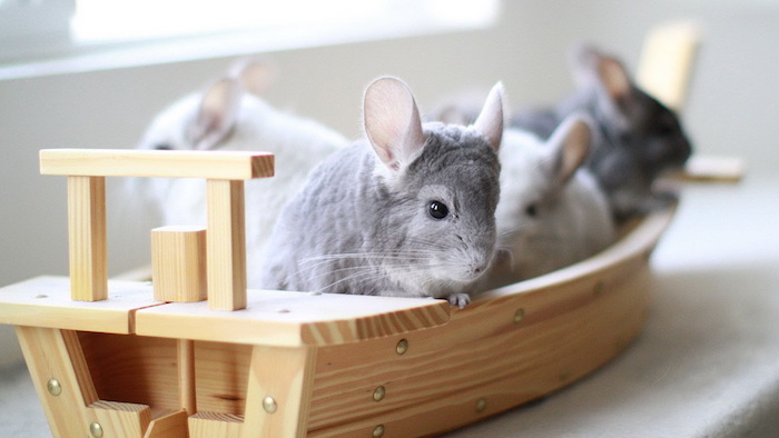 toy boat made from pale wooden material, containing four grey adult chinchillas, exotic animals, cute little critters