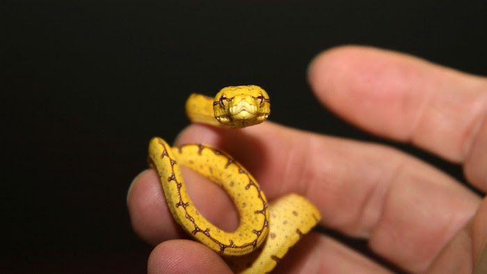 exotic animals as pets, tiny yellow snake, with a brown pattern, coiling around a person's fingers, seen in close up
