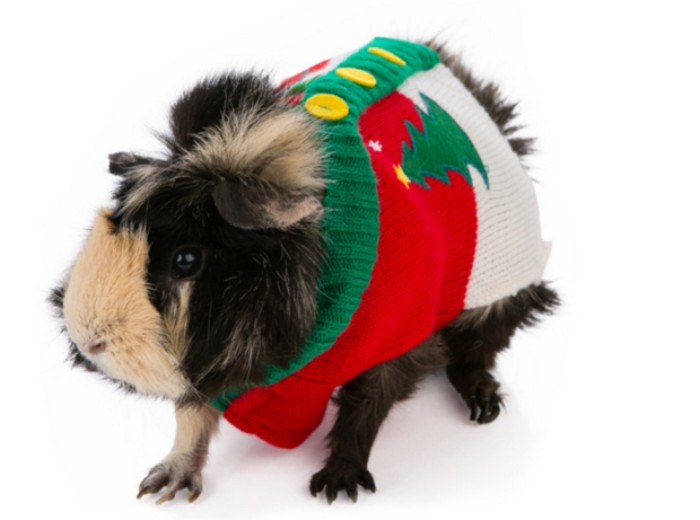 yellow buttons on a red and white jumper, with green details, and a christmas tree motif, on a guinea pig, with brown and cream fur, ugly sweater party for animals