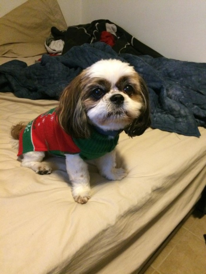 cross between a shih tsu, and a king charles cavalier spaniel, with brown and white fur, wearing a red and green xmas jumper, cute christmas sweaters for puppies