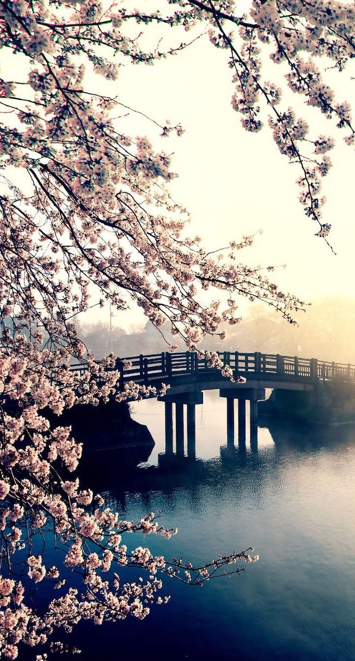 bridge across a river, blooming tree, spring images, phone background, phone wallpaper
