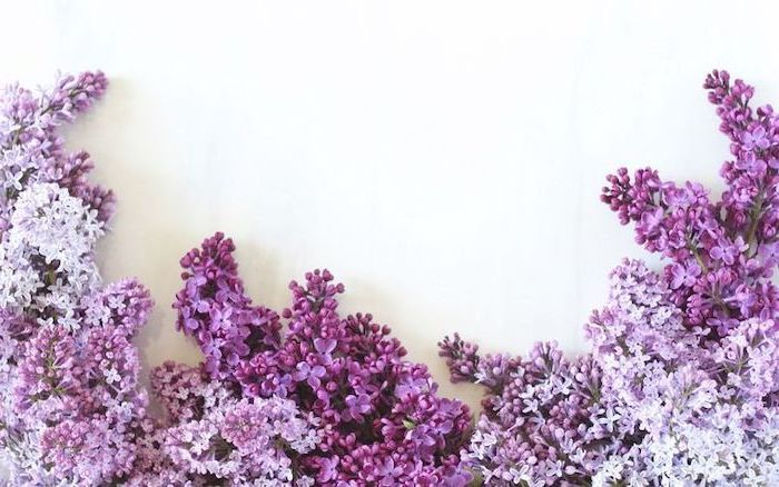 lilac flowers, in different shades of purple, spring flowers background, white background