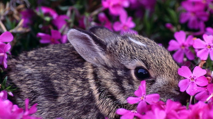 little grey bunny, in the middle of lots of pink flowers, spring flowers background