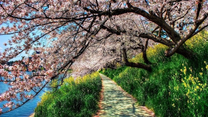 tall blooming trees, looming over a pathway, next to a river, spring desktop backgrounds