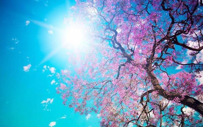 blue skies, sun shining, spring desktop backgrounds, large blooming tree, with pink blooms