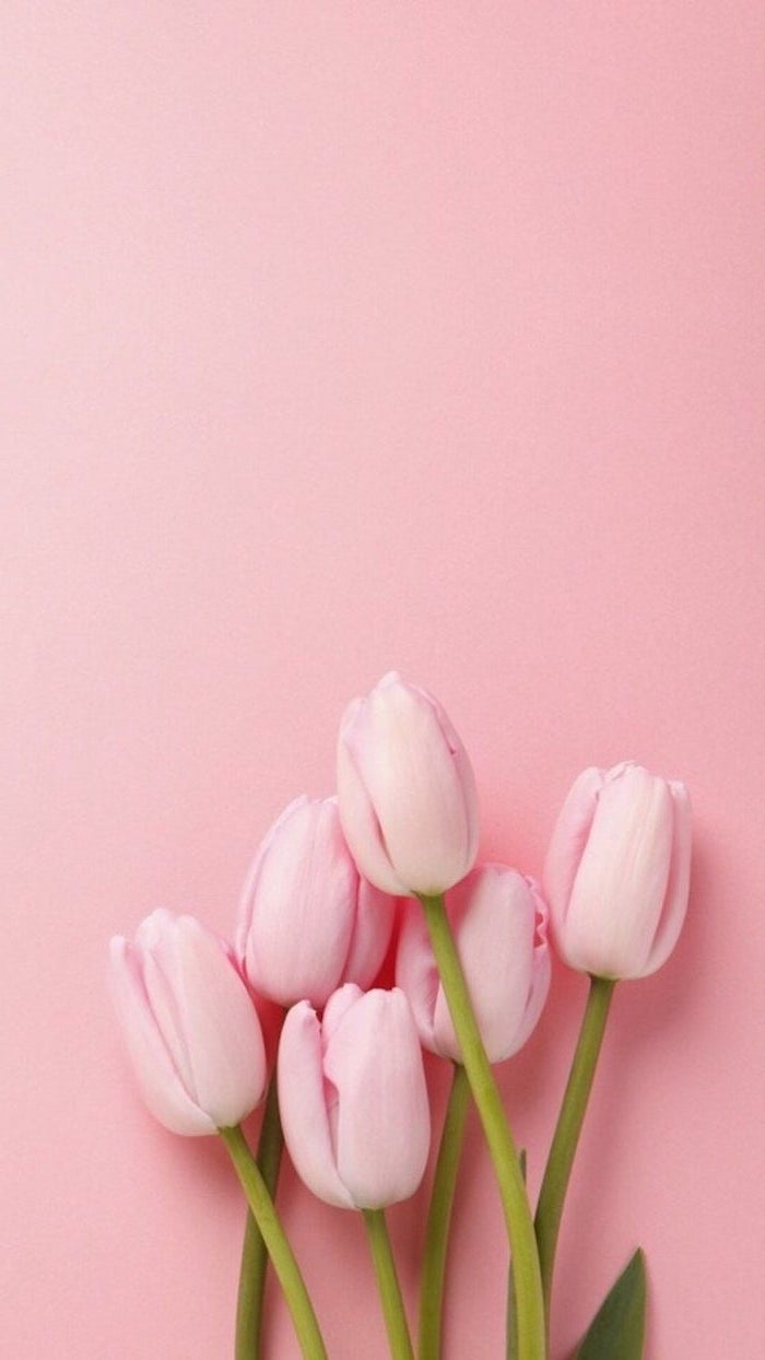 pink tulips at the bottom, on a pink background, spring wallpaper, phone wallpaper