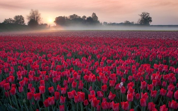 red tulips fields, free spring wallpaper, surrounded by trees, during sunrise, covered in mist