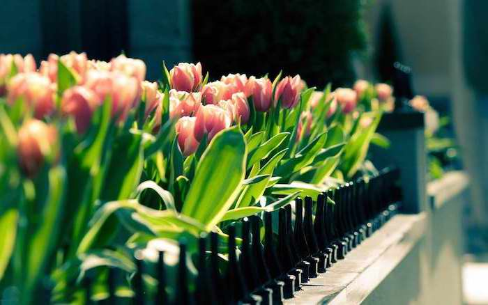 pink tulips, free spring wallpaper, along a pathway, behind a black metal fence, desktop wallpaper