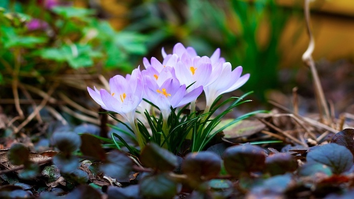 small purple flowers, spring pictures for desktop, surrounded by leaves and greenery